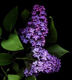 Lilacs, spring/early summer flower, one of the most fragrant flowers, can get hundreds on a bush in full sun, hardy, needs regular trimming. I've seen pink, white, and purple varieties.