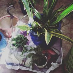 Long overdue for repotting. #plant #plants #plantsofinstagram #plantlove #plantlady #plantporn #plantgang #plantbabies #plantsmakemehappy #plantsmakepeoplehappy #houseplants #urbanjungle #growingthings #greenthumb #phytophilous #greenry #pottery #jackalopepottery #repotted #repotting #repottingplants #sproutandstem