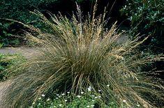 RHS Plant Selector Deschampsia cespitosa 'Bronzeschleier' / RHS Gardening