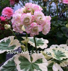 200ชิ้นสองสีunivalveเมล็ดgeranium p elargonium peltatum 'westdale apple blossom'ในสวนยืนต้นดอกไม้พืช