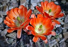 Vibrant Orange Cactus Flowers  by Maureen Isree on Capture My Arizona // Claret Cup Cactus - Echinocereus One of the most attractive hedgehog cacti is the claret cup, which grows in clumps as much as 4 feet across but usually smaller. The bright red-orange flowers often cover the whole plant, which is cylindrical and low-growing, often hugging up against some larger plant. The numerous flowers grow at the top of the stems, all about the same height, giving a full view of all the flowers at…