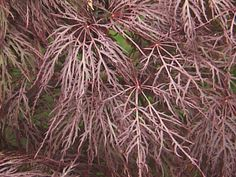 'Red Filagree Lace' maple