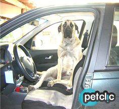 Gordi de paseo en coche www.petclic.es