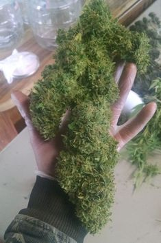How to Manifold Your Plants - It's Pay Time How To Get Bigger, Fun To Be One, Cool Things To Make, Plants Have Feelings, Mean Green, Grow Tent, Marijuana Plants, Cannabis Growing