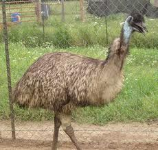 Emu Oil Benefits For Health.  I raised emus for a while, this oil is amazing!