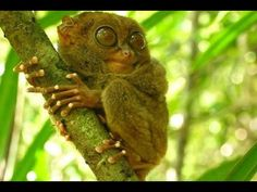 TARSIER ENJOYS A QUICK LUNCH. BOHOL PHILIPPINES.