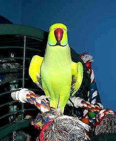 4 years old green indian ring neck male, not friendly, good only for breeding. nice feathers, eats very healthy food. only for $375 firm. no cage.