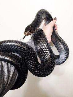 The rare endangered indigo snake.