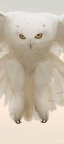 AMAZING white owl