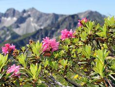 Alpine rose, Snow-rose, Rhododendron ferrugineum