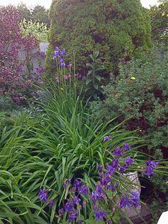 Kveldsstemning på hagens vestside - akeleie foran og blå iris og klokkebusk bak. Her kommer det liljer litt senere i sommer :) /From the western part of the garden - Columbine in front, blue Iris and Weigela in the back. Later in the summer there will be some lilies here :) 3.6.14/IJ