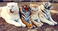 【画像】 アルビノタイガー、ホワイトタイガー、ゴールデンタイガー、ベンガルタイガー2 もっと見る