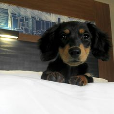 Instagram: @koopa_the_doxie  Snapchat: koopathedoxie   Koopa is a long hair black and tan miniature dachshund!