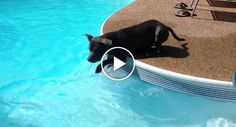 Adorably Confused Dog Swims in Pool for the First Time http://www.iconicvideos.biz/adorably-confused-dog-swims-pool-first-time/