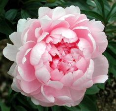 Walter Faxon: Double - Shell-Pink - Midseason. Mildly fragrant. Vivid shell-pink of a luminous intensity unique in peonies,which fades with age. Fairly floriferous; good stems and foliage. A fairly good flower of value for its striking color. When the flowers are allowed to open indoors, the color is often described as the purest pink found among lactiflora peonies. When left on the plant, the flowers are still very attractive, but the bright pink color will not withstand strong sunlight.