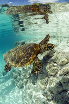 Sea Turtle in Lagoon, Tahiti Tourisme.  Check out www.southpacificexperiences.com for amazing Tahiti vacations