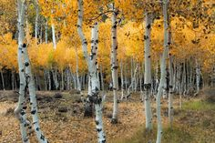 https://flic.kr/p/Bzcm9S | Golden Aspen Grove | A golden aspen grove just off the road on the way to North Lake from Bishop, CA.