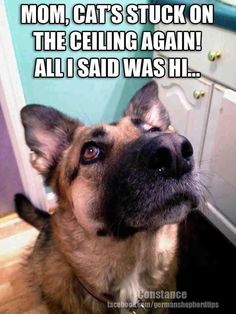 Wicked Training Your German Shepherd Dog Ideas. Mind Blowing Training Your German Shepherd Dog Ideas. Animal Jokes, Funny Animal Memes, Dog Memes, Cute Funny Animals, Funny Animal Pictures, Dog Pictures, Funny Dogs, German Shepherd Memes, German Shepherd Puppies