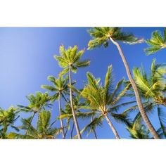 Hawaii Tall Palm Trees Against Bright Blue Sky Canvas Art - Chris Abraham Design Pics (38 x 24)
