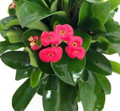"Crown of Thorns Plant - Dark Leaves/Pink Blooms -Euphorbia splendens-4"" Pot"