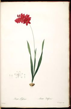 Les liliacees /par P.J. Redoute.