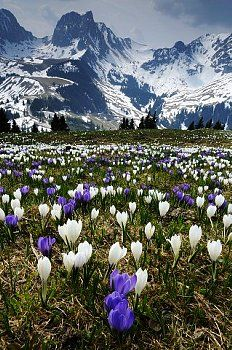 Gurnigel Pass mit Crocus Vernus - connects Riggisberg and Zollhaus, Canton of Bern