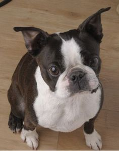 Boston Terrier...my boyfriends' cousin got one not long ago and he is great! Very well mannered and cuddly. Great with children.
