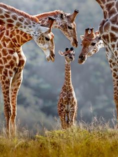 A new born giraffe is surrounded by its family. The photograph was taken at Kariega Game Reserve in South Africa, just 45 minutes after the mother gave birth