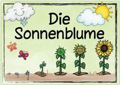 """Themenplakat """"Die Sonnenblume"""" Ebenfalls gewünscht wurde ein Themenplakat zur Sonnenblume. Mehrfach kam auch die Frage auf, wie man di..."""