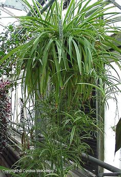 Spider Plant: Chlorophytum comosum
