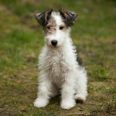 Addicted to my wire fox terrier babe Chien Fox Terrier, Wirehaired Fox Terrier, Terrier Dogs, Wire Fox Terrier Puppies, Welsh Terrier, Terrier Breeds, Cute Puppies, Cute Dogs, Dogs And Puppies