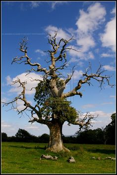 The_Half_Dead_Tree_by_Hitomii.jpg (800×1192)
