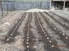"""Автор Сергей КрюковНынче весь картофель выращивал под """"шубой"""" - листовым опадом, соломой, сеном. Скажу больше. Выращивал не столько картофель, сколько землю. Опишу свою технологию.Осенью 2011 года зав… Farm Gardens, Paleo Diet, Vegetable Garden, Railroad Tracks, Gardening Tips, City Photo, Sidewalk, Vegetables, Outdoor"""