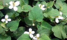 해독작용,살균작용,염증질환에 탁월한 어성초(약모밀)의 효능 - 어성초 먹는 방법