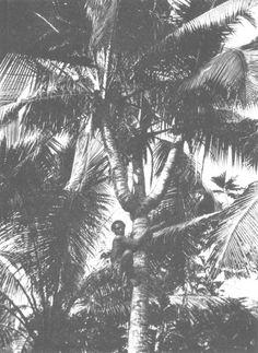 The Samoa Islands by Dr Augustin Kramer 1901 Samoans picking coconuts.