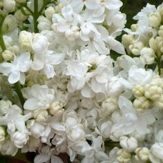 Flieder Syringa vulgaris 'Sovetskaya Arktika' - Weiße Flieder - Flieder-Premium Fliedertraum