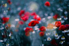 Las bellas salvajes - Lush poppies and daisies in spring Bellisima, Poppies, Instagram, Nature, Daisies, Photography, Facebook, Twitter, Spring