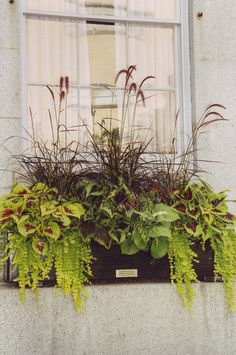 Fountain grass, coleus and creeping jenny