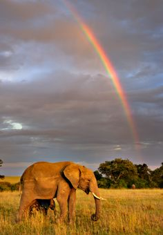 African Elephant and Rainbow- photo by Andy Rouse / Getty Images;  at Masai Mara, Kenya