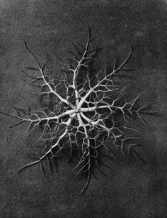 Karl Blossfeldt - Nigella damascena, Love-in-a-mist. From the book - Urformen der Kunst Karl Blossfeldt, Still Life Photography, Nature Photography, White Photography, Natural Form Art, Natural Life, Seed Pods, Patterns In Nature, Botanical Prints