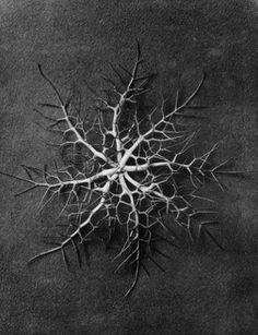 Karl Blossfeldt (1865-1932) botanical fine art photographer - Nigella damascena