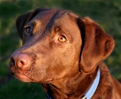 Chesapeake Bay\Labrador Retreiver all thanks to Lynzy's uncle's dog, Clutch :)