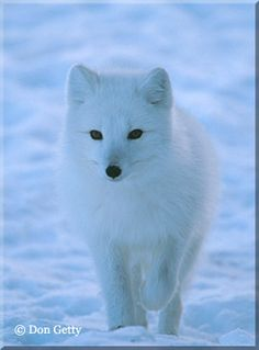 Artic foxes they are foxes are my favorite animal in the whole world!