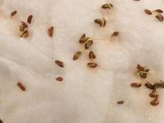 Dag 3 de zaadjes zijn aan het ontkiemen en komen er steeds verder