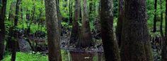 Congaree National Park - The largest tract of old-growth bottomland hardwood forest left in North America can be found in this swampy national park. Rivers sweep through the floodplains, and great bald cypress trees make up one of the highest deciduous forest canopies in the world.photo by QT Luong / www.terragalleria.com