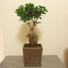 DRZEWKO-BONSAI - ficus ginseng, bonsai sklep, sprzedaż.