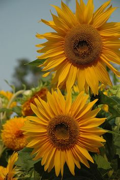 Giant Sunflowers... by anon nona on flickr