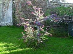Clic aqui para aumentar tamaño de la imagen Acacia Baileyana, Exterior, Green, Plants, Gardens, Houses, Plant, Outdoor Rooms, Planets