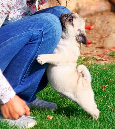 16 Pugs That Love To Hug!                                                                                                                                                                                 More