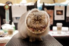 Art On Sun: 31 Epically Adorable Pictures From The Norwegian Forest Cat Show http://artonsun.blogspot.com/2015/03/31-epically-adorable-pictures-from.html